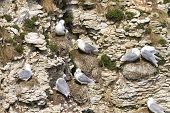stock photo of cliffs  - kittiwake on the cliffs at bempton cliffs breeding colony England - JPG