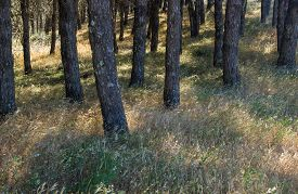 stock photo of pinus  - natural background of sun lit grasses btween the trunks of Pinus pinea Stone pine trees - JPG
