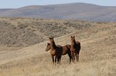 Three Brown Wild Horses In The Foothills