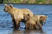 stock photo of grizzly bears  - Brown Bear Sow And Cubs Sitting On Riverbank - JPG