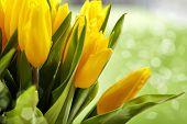 Постер, плакат: Желтые тюльпаны