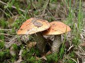 Aspen Mushrooms