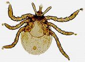 Tick Larvae