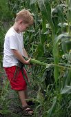 picture of yanks  - a boy picking corn - JPG