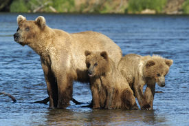 foto of grizzly bear  - Brown Bear Sow And Cubs Sitting On Riverbank - JPG