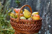 Basket With Plenty Of Pears. Basket Full Of Green Organic Pears In Garden Background poster