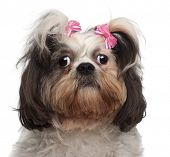 Close-up of Shih Tzu, 18 months old, in front of white background