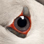 Close-up of Atlantic Puffin eye or Common Puffin eye, Fratercula arctica