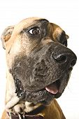 stock photo of great dane  - A close up of a Great Dane - JPG
