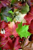 Multicolored Maple Leaf Arrangement
