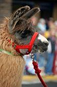 Llama With Red Halter