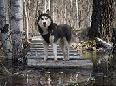 Dog Breed Husky. Portrait Of A Dog In The Woods Near The Stream poster