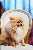 A Cute Pomeranian Dog With Red Hair Like A Fox Lounging On A Leather Chair poster