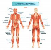 Male Muscular System, Full Anatomical Body Diagram With Muscle Scheme, Vector Illustration Education poster