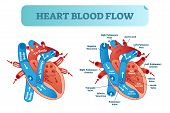 Heart Blood Flow Anatomical Diagram With Atrium And Ventricle System. Vector Illustration Labeled Me poster