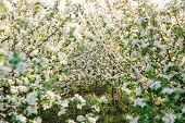 Blossoming Apple Orchard In Spring. Europe. Beauty World. Flowering Apple Orchard. poster