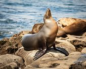 Portrait Of A Common, California Sea Lion In La Jolla Cove, San Diego, Ca Basking In The Afternoon S poster