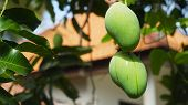 Mango Tree With Fruits. Bunch Of Green Mango On Tree. Bunch Of Green Ripe Mango On Tree In Garden. poster