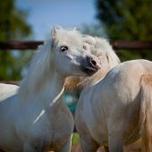 image of beautiful horses  - Two gray Shetland ponies in field - JPG
