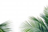 Top View Coconut Tree Leaves On White Isolated Background For Green Foliage Backdrop poster