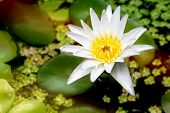 Beautiful White Lotus Flower With Green Leaf In Pond Is Complimented By The Rich Colors Of The Water poster