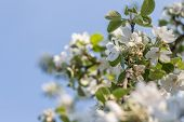 Blooming Apple Tree. Blooming Tree Branch. Young Blooming Tree Over Blue Sky. Spring Blooming Tree W poster