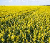 Rapeseed Field. Yellow Rape Flowers, Field Landscape. Blue Sky And Rape On The Field poster