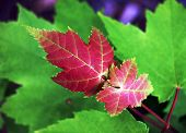 picture of maple tree  - Acer Rubrum or Red Maple leaves. This is new growth on a Red Maple Tree.