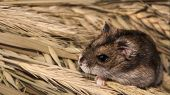 The Rodent Causes Large Losses Of Grain Crops (crops Wheat, Oats, Rye, Corn) poster