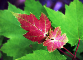 image of maple tree  - Acer Rubrum or Red Maple leaves. This is new growth on a Red Maple Tree.