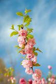 ein Zweig mit schönen rosa Blüten gegen den blauen Himmel. Amygdalus triloba