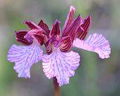 Butterfly orchid (Anacamptis papilionacea), Mediterranean region wild orchid