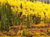 Golden yellow fall boreal forest in Yukon, Canada