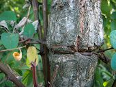 Jump The Wire In The Tree Trunk. Garden Fence In Tree Trunk. Damage To Tree Trunk By Metal Wire. poster