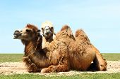 foto of hump day  - Troop of two domestic camel bactrian take a rest on a meadow - JPG