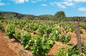 Grape vines growing in the Algarve region of Portugal
