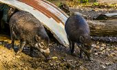 Visayan Warty Pig Couple Together In The Mud, Tropical Wild Boars, Critically Endangered Animal Spec poster