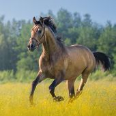 Light bay Andalusian horse in field of flowers on farm. poster