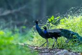 Indian Peafowl Or Peacock Beautiful Scenic Green Background In Winter Morning At Ranthambore Nationa poster