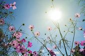 Booming Cosmos Flower In Garden With The Sun, Pink Cosmos Flowers In Garden. poster
