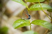 Red-Banded Hairstreak Butterfly
