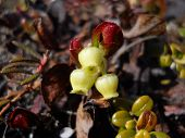 stock photo of bearberry  - This is a picture of Alaskan baby bearberries growing out in the wild tundra - JPG