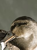 picture of barbary duck  - Portrait of a beautiful female Mallard duck in a pond - JPG