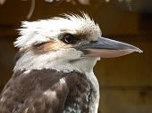 foto of blue winged kookaburra  - laughing kookaburra - JPG