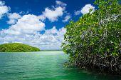 mangrove trees in caribbean sea
