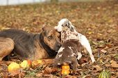 foto of catahoula  - Louisiana Catahoula dog playing with puppies in autumn - JPG