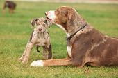 stock photo of bitch  - Louisiana Catahoula bitch with puppy on the grass - JPG