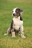foto of catahoula  - Louisiana Catahoula puppy sitting on the grass - JPG