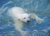 Little white polar bear swimming in the water