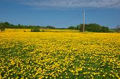 Dandelion field and spring road through yellow meadows